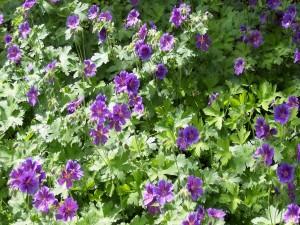 Postal: Resplandecientes geranios color púrpura en el jardín