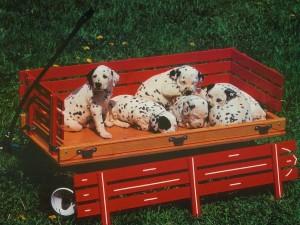 Cachorros dálmatas descansando