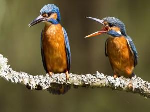 Pájaros Martín pescador discutiendo