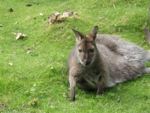 Un canguro hembra