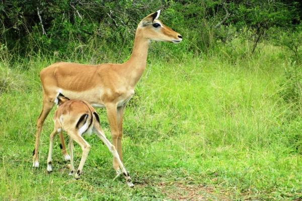 Hembra de impala junto a su cría