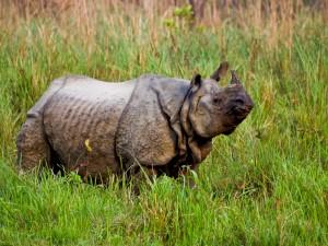 Postal: Un viejo rinoceronte