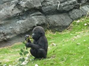 Un pequeño gorila con una rama en las manos