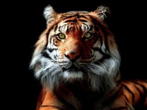 Postal: Mirada intensa de un tigre