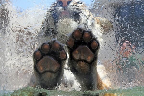 Tigre sobre una fina capa de hielo