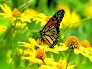 Postal: Una mariposa en un campo de flores amarillas
