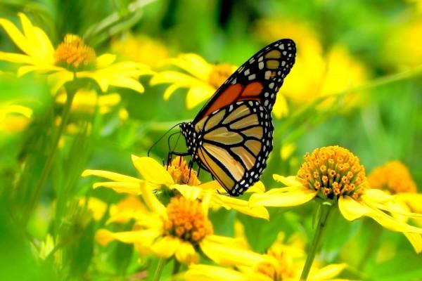 Una mariposa en un campo de flores amarillas