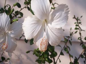 Hibiscus blancos en una rama