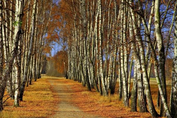 Árboles de abedul a orillas del camino