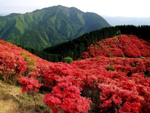 Arbustos de color rojo junto a los pinos verdes