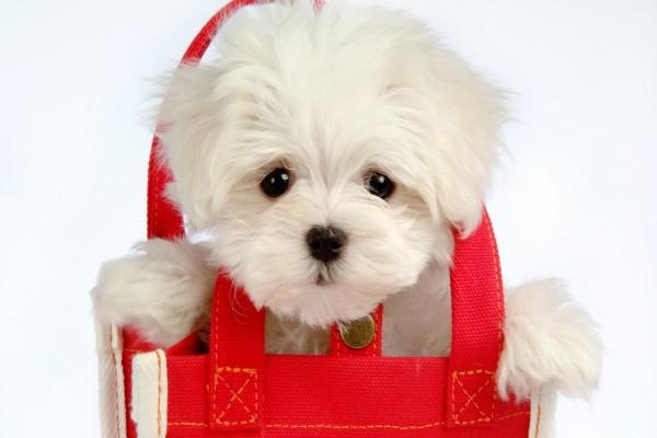 Perrito blanco dentro de una bolsa roja