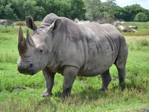 Postal: Un rinoceronte con la boca llena de hierba