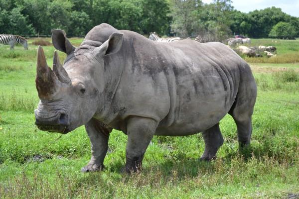 Un rinoceronte con la boca llena de hierba