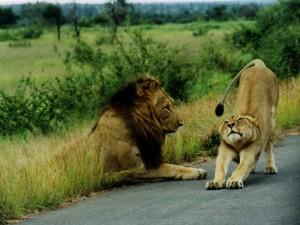 Postal: Leona estirándose junto a un león