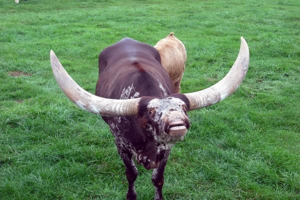 Vaca con grandes cuernos