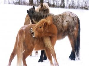 Postal: Ponis en la nieve