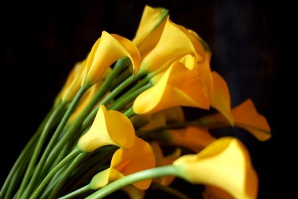 Calas amarillas