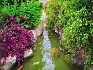 Carpas en el estanque