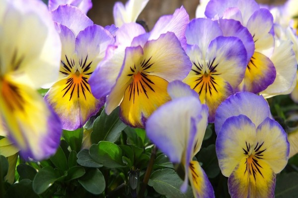 Coloridos pensamientos en un jardín