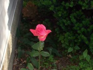 Postal: Una rosa creciendo en soledad