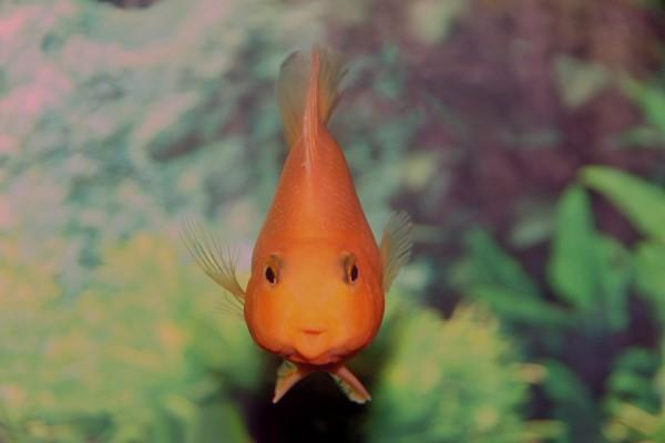 Un pez naranja