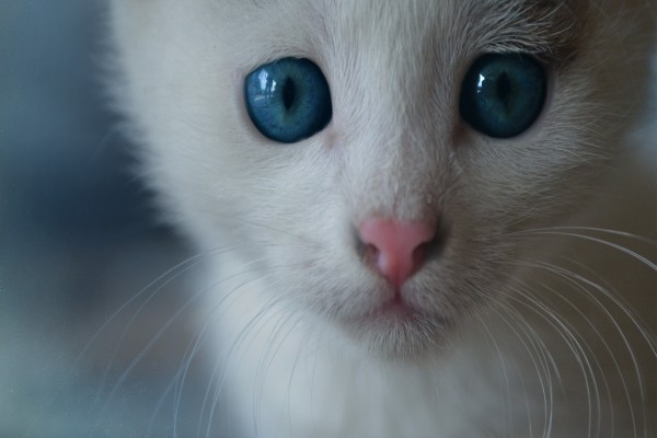 El hocico rosa de un gatito blanco