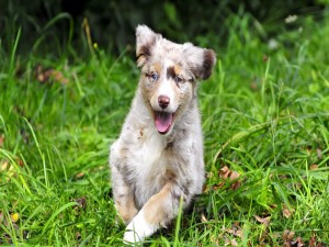 Postal: Un bonito perro corriendo feliz