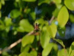 Postal: Araña en su tela