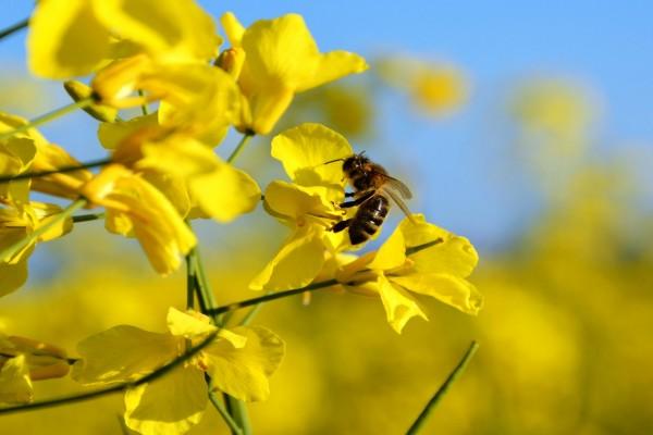 Abeja en los pétalos de una flor amarilla