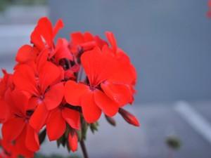 Postal: Bellísimo geranio con pétalos rojos