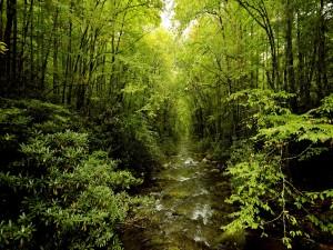 Postal: Riachuelo en el interior de un verde bosque