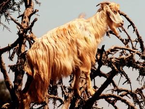 Postal: Cabra sobre las ramas de un árbol