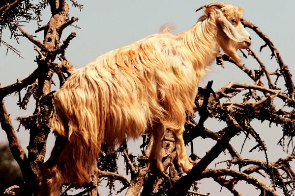 Cabra sobre las ramas de un árbol