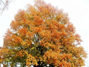 Gran árbol en otoño