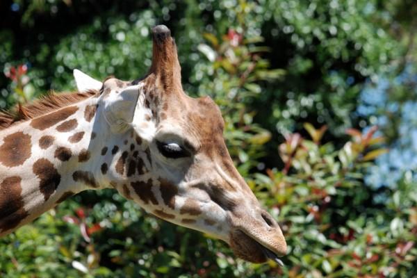 Cabeza de una jirafa