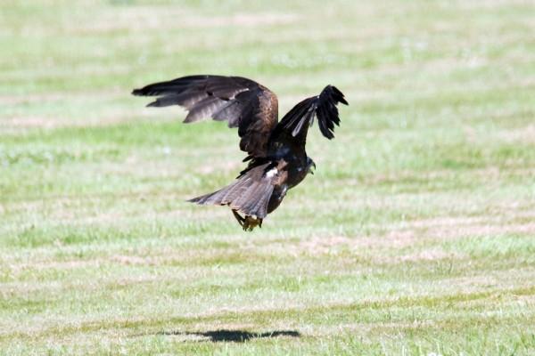 Águila imperial aterrizando sobre la hierba