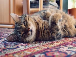 Un gato descansando sobre una alfombra