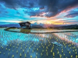 Postal: Plantación de arroz