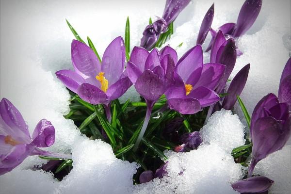 Flores púrpura bajo una capa de nieve