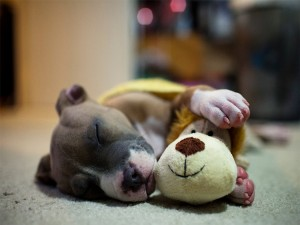Postal: Perro dormido junto a un peluche