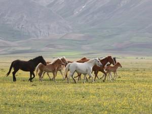 Postal: Caballos caminando en un campo con flores amarillas