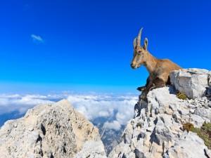 Una cabra en las montañas