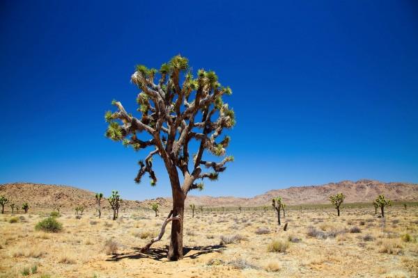 Árboles en el desierto