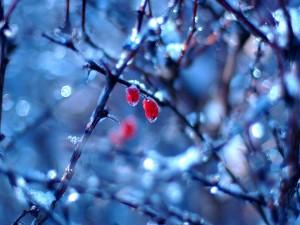 Dos frutos rojos en las frías ramas de un árbol