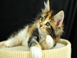 Gatito con un pelaje de varios colores