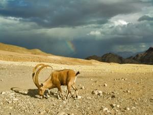 Una cabra y un arcoíris en las montañas