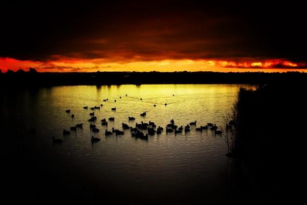 Patos en el agua al anochecer