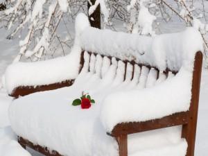 Postal: Rosa sobre un banco cubierto de nieve