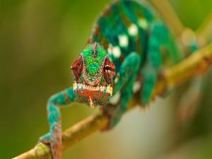 La cara de un colorido camaleón