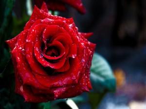 Una bonita rosa roja cubierta de agua